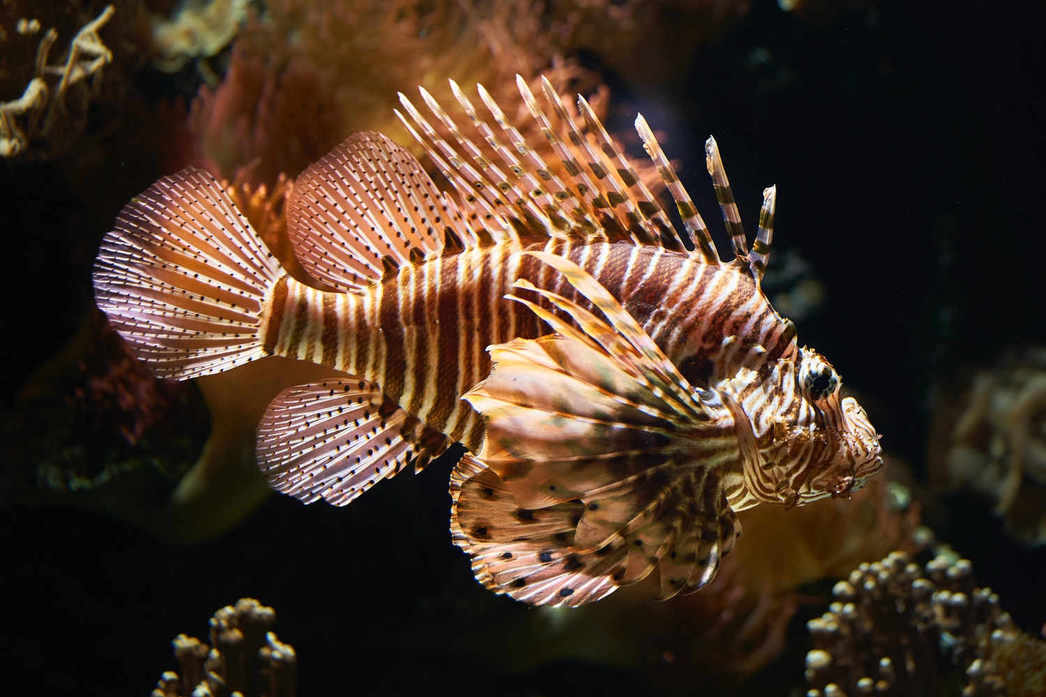 Close up of a Lionfish swimming