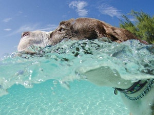 Close up of dog swimming in the ocean in the Cayman Islands