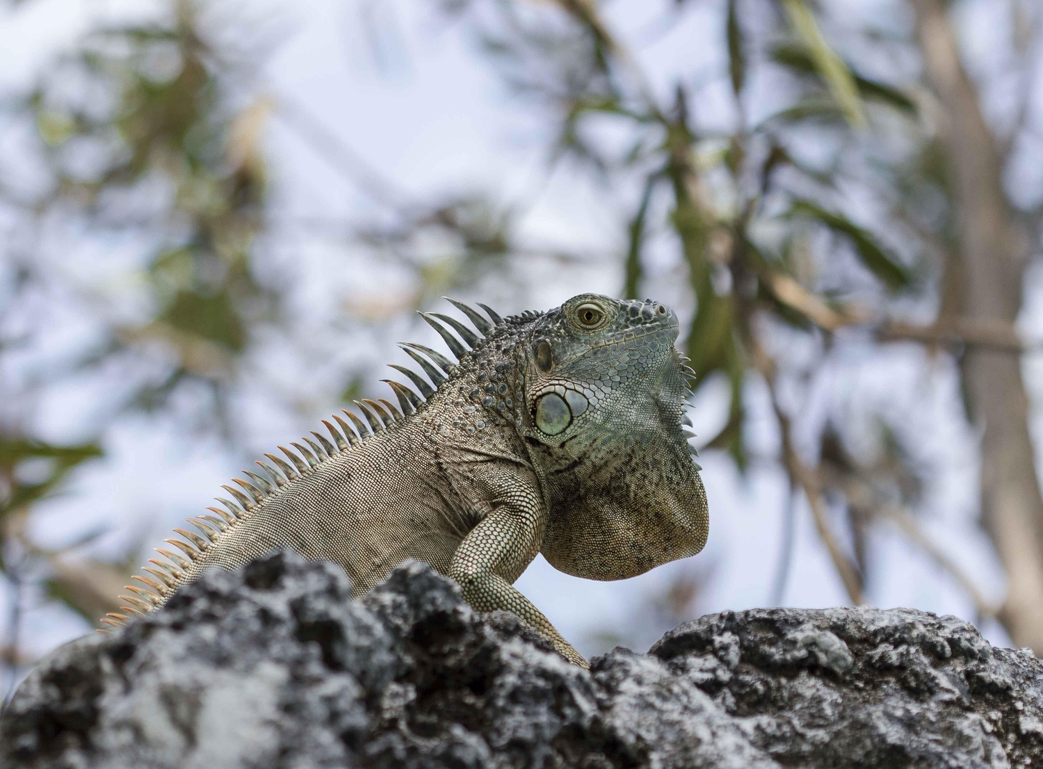 Iguana perched on a rock in the Cayman Islands
