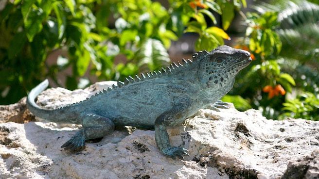 Blue iguana at a nature reserve