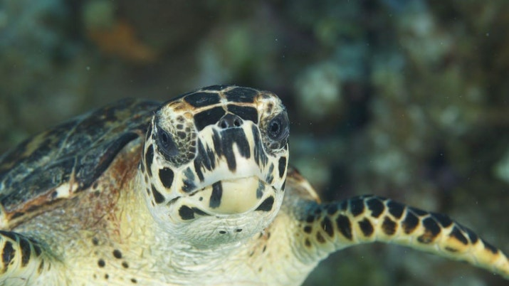 Face to face with with a green sea turtle