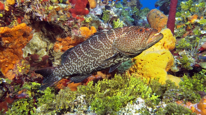 Nassau grouper in swimming past a colourful coral reef