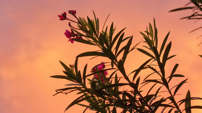 Pink flower silhouetted against a pink sunset sky
