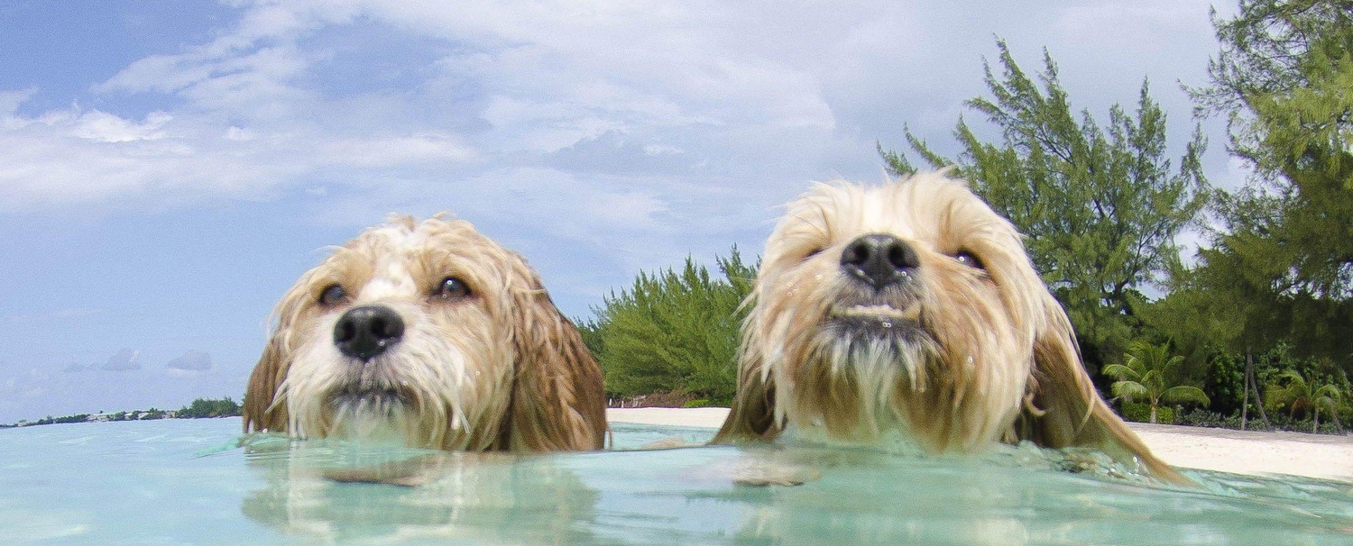 Two dogs swimming in the ocean